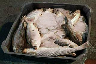 سمك كويتى طازج