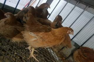 دجاج المنقف