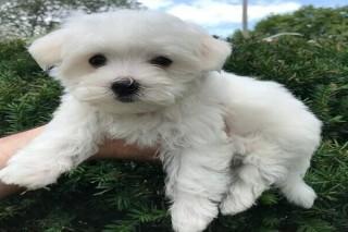 Beautiful Maltese puppies