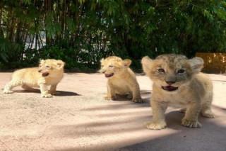 Healthy Lion Cubs for sale