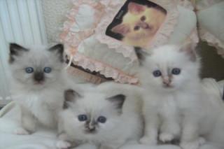 Lovely Birman kittens for sale