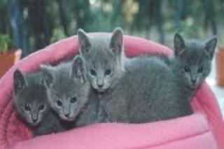 Blue Russian kittens for sale