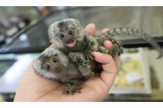 Finger Marmoset Monkeys for sale