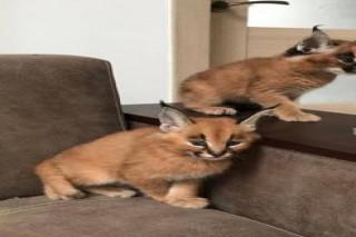 Lovely Caracal Kittens for Sale